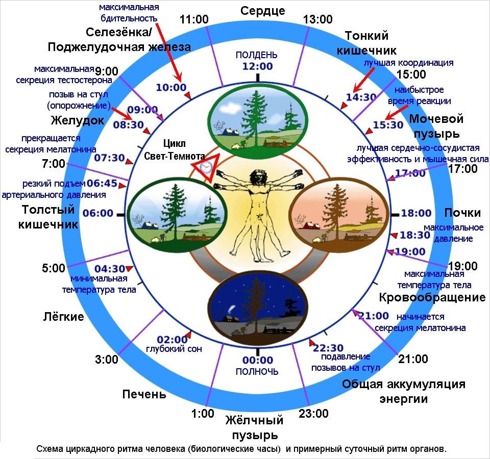 Биологические часы человека реферат 5855