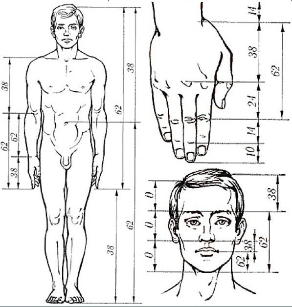 Пропорции тела мужчин